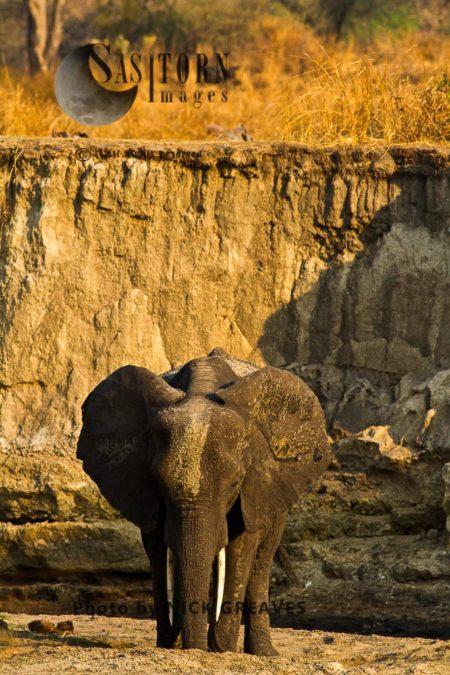 African Elephant (Loxodonta Africana), Bull In The Dry Katuma River