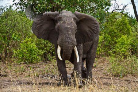 African Elephant (Loxodonta Africana), Bull Display