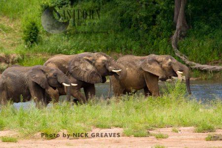 African Elephant (Loxodonta Africana) Bulls Drinking