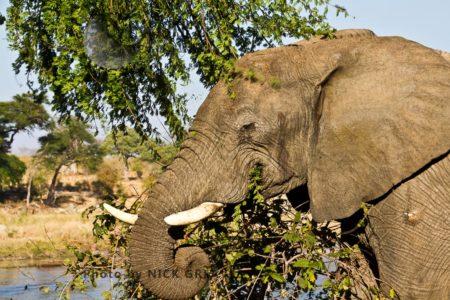 African Elephant (Loxodonta Africana) Browsing