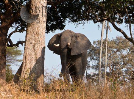 African Elephant (Loxodonta Africana): Looking Wary