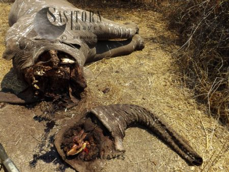 Poached African Elephant (Loxodonta Africana)