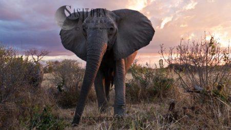 African Elephant (Loxodonta Africana), Breed Herd Matriarch