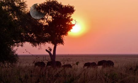 African Elephant (Loxodonta Africana), Breed Herd At Sunset