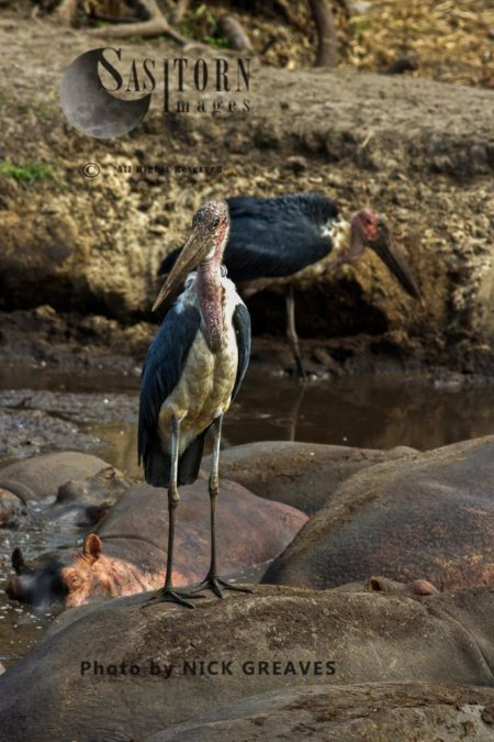 Marabou Stork (Leptoptilos Crumenifer) On Hippos