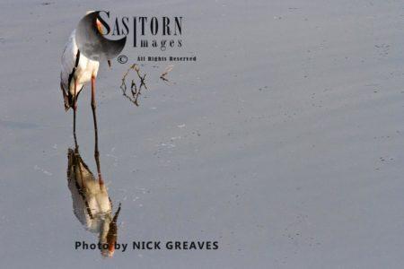 Yellow-Billed Stork (Mycteria Ibis), Or Wood Stork Or Wood Ibis, African Bird Reflection