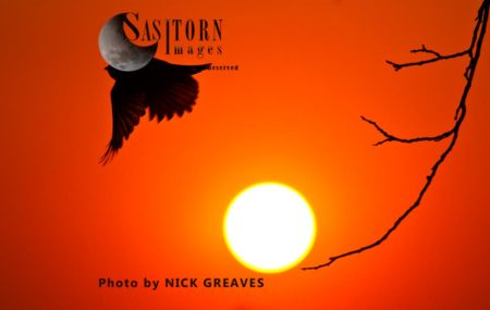 Fork-tailed Drongo, Common Drongo, African Drongo, Or Savanna Drongo (Dicrurus Adsimilis) At Sunset