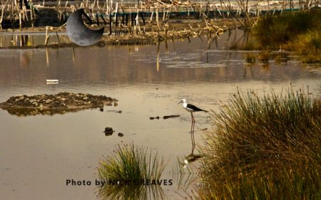 Black-winged Stilt (Himantopus Himantopus) In Salt Pans