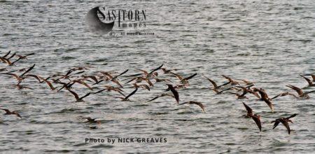 A Flock Of African Skimmers (Rynchops Flavirostris)