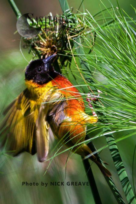Black-headed Weaver (Ploceus Melanocephalus), Also Known As Yellow-backed Weaver, Nest Building