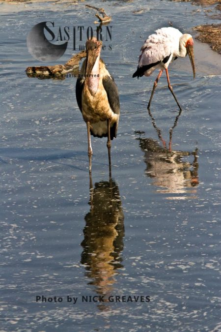 Marabou (Leptoptilos Crumenifer) And Yellow-billed Stork (Mycteria Ibis) With Reflections In Water