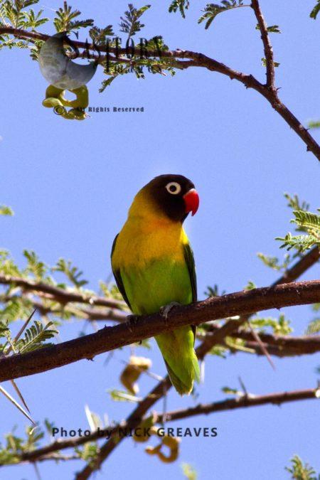 Yellow-collared Lovebird (Agapornis Personatus), Or Masked Lovebird, Black-masked Lovebird Or Eye Ring Lovebird