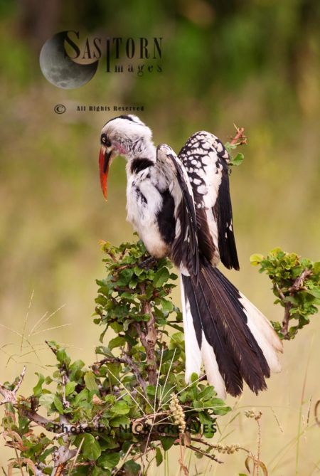 Ruaha Red-billed Hornbill Or Tanzanian Red-billed Hornbill (Tockus Ruahae)