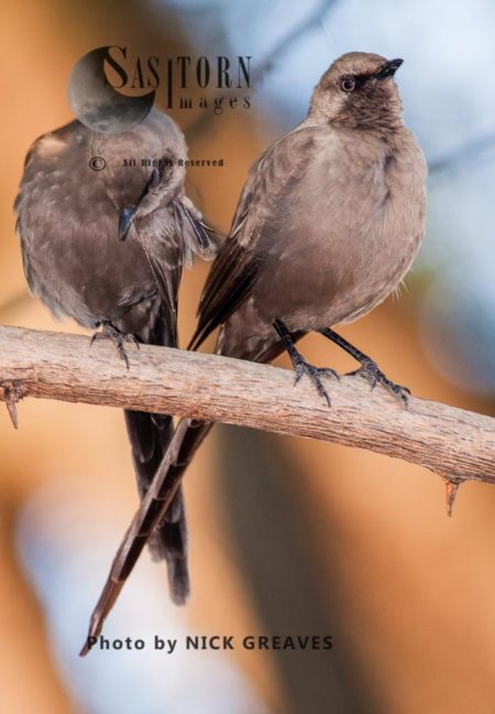 Ashy Starling (Lamprotornis Unicolor)