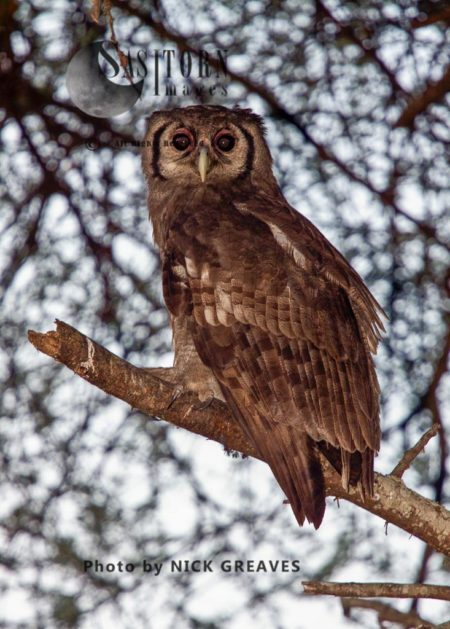 Verreaux's Eagle-Owl (Bubo Lacteus), Or Milky Eagle Owl Or Giant Eagle Owl