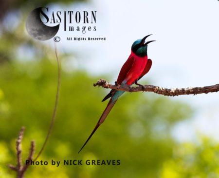 Northern Carmine Bee-Eater (Merops Nubicus Or M. N. Nubicus)