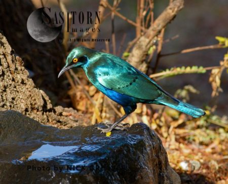 Greater Blue-eared Glossy Starling Or Greater Blue-eared Glossy-starling (Lamprotornis Chalybaeus)