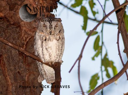 African Scops Owl (Glaucidium Capense), Otus Senegalensis, Ruaha National Park, Tanzania
