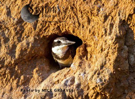 Pied  Kingfisher (Ceryle Rudis) Nest Tunnel