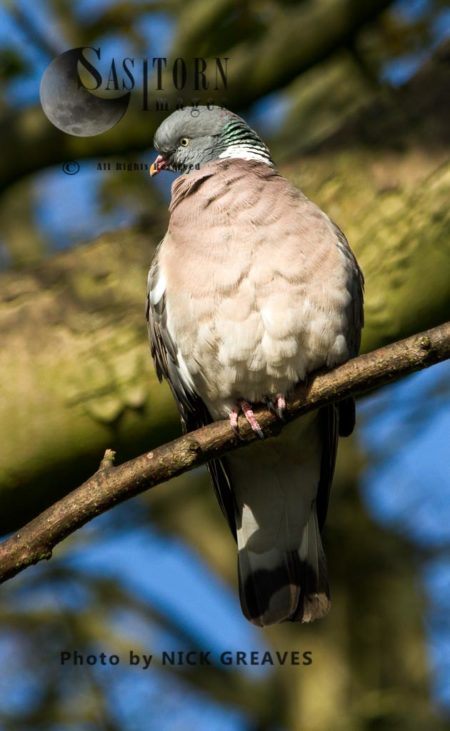 Common Wood Pigeon (Columba Palumbus), Perched