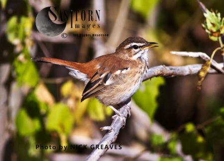 White-browed Scrub Robin (Cercotrichas Leucophrys), Also Known As Red-backed Scrub Robin