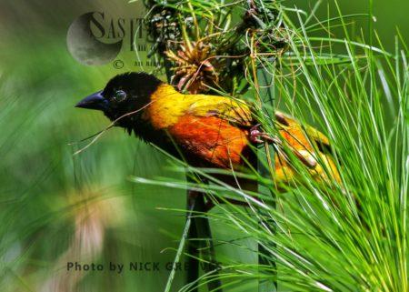 Black-headed Weaver (Ploceus Melanocephalus), Also Known As Yellow-backed Weaver