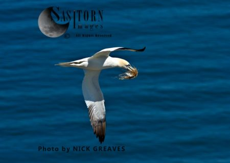 Northern Gannet (Morus Bassanus) Carrying Nesting Material