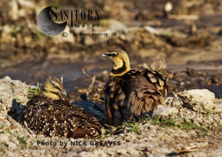 Yellow-throated Sandgrouse E (Pterocles Gutturalis)