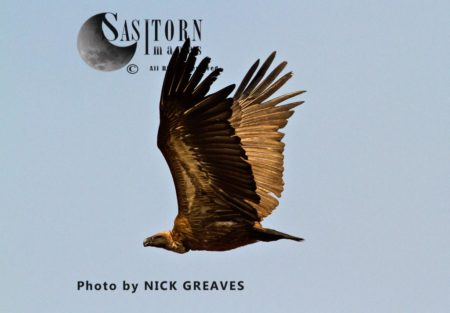 White-backed Vulture (Gyps Africanus) In Flight,