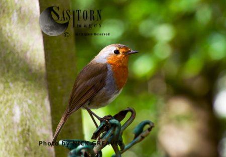 European Robin (Erithacus Rubecula), Or RRobin Or Robin 'redbreast'