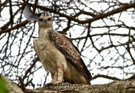 Martial Eagle (Polemaetus Bellicosus), Juvenile