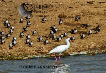 African Spoonbill (Platalea Alba) And African Skimmers (Rynchops Flavirostris)
