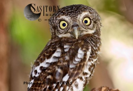Barred Owlet Eyes (Strix Varia)