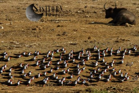 African Skimmer (Rynchops Flavirostris), Resting Fock Of A