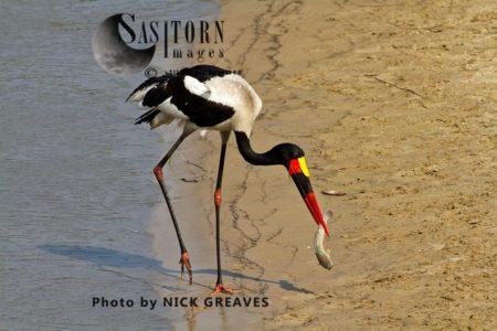 Saddle-billed Stork Or Saddlebill (Ephippiorhynchus Senegalensis) With Catfish.