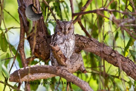 African Scops Owl (Glaucidium Capense)