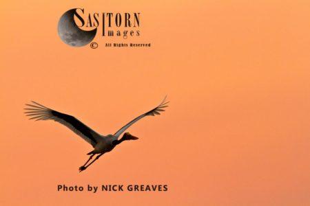 Saddle-billed Stork Or Saddlebill (Ephippiorhynchus Senegalensis), Male