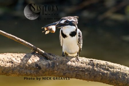 Pied  Kingfisher (Ceryle Rudis) With Tilapia In Beak