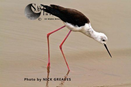 Black-winged Stilt (Himantopus Himantopus) Feeding
