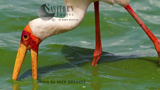 Yellow-billed Stork Feeding