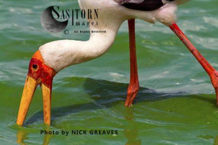 Yellow-Billed Stork (Mycteria Ibis), Or Wood Stork Or Wood Ibis, African Bird Feeding