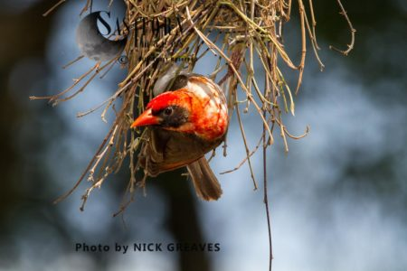 Red-headed Weaver  (Anaplectes Rubriceps) Nest Building.