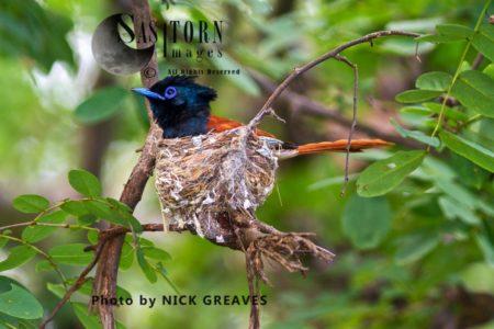 African Paradise Flycatcher (Terpsiphone Viridis) Nesting