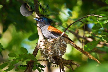 African Paradise Flycatcher (Terpsiphone Viridis) At Nest