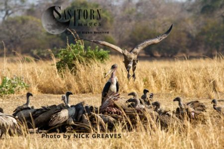 White-backed Vultures (Gyps Africanus), Scarvengers On Carcass
