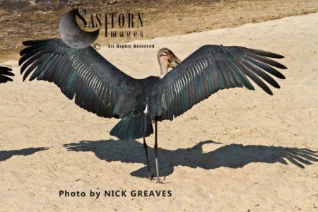 Marabou Stork (Leptoptilos Crumenifer) Wingspan