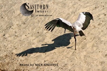 Yellow-Billed Stork (Mycteria Ibis), Or Wood Stork Or Wood Ibis, African Bird, Sunning