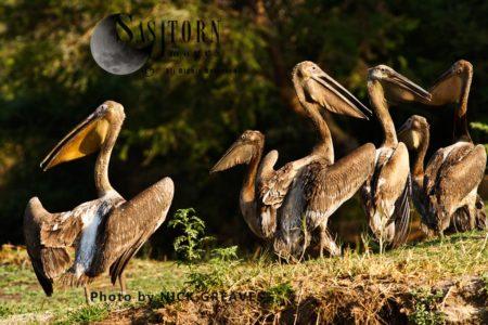 Great White Pelican (Pelecanus Onocrotalus), Or Eastern White Pelican, Rosy Pelican Or White Pelican, Flock Resting