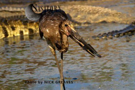 Saddle-billed Stork Or Saddlebill (Ephippiorhynchus Senegalensis), Juvenile