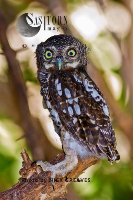 African Barred Owlet Fledgling